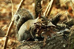 Grey squirrel carrying leaves - Matt Jones