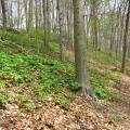 A Basic Mesic Hardwood Forest in Melvin Hazen Valley, Rock Creek Park