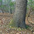 Chestnut Oak / Mountain Laurel Forest