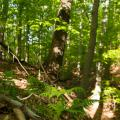 Mesic Mixed Hardwood Forest