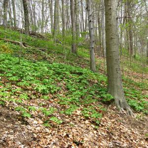 basic mesic hardwood forest in early spring