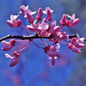 eastern redbud bloom
