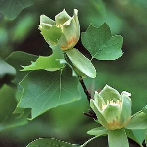 tuliptree flowers