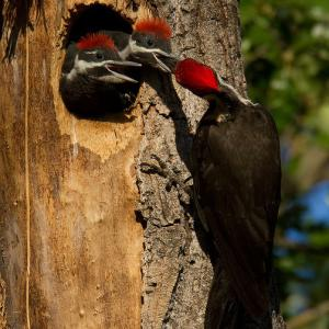 A pileated woodpecker feeds its chicks.