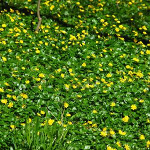 Invasive species lesser celandine in spring