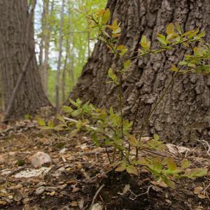 oaks and a blueberry shrub