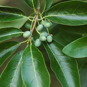 blackgum leaves and unripe fruit