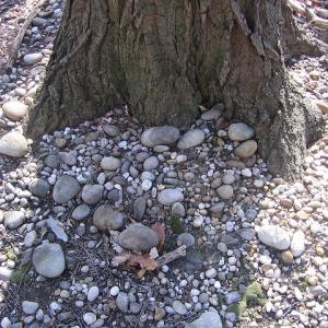 ancient river terrace gravel and cobbles at tree roots