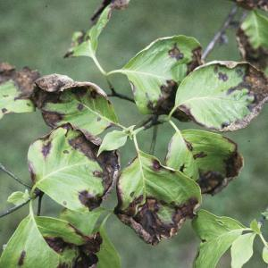 dogwood anthracnose leaf blotch