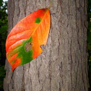 blackgum leaf and bark in autumn