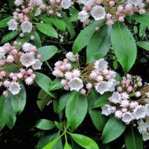 mountain laurel blooming