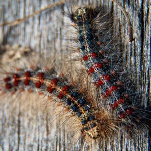 Gypsy moth caterpillars